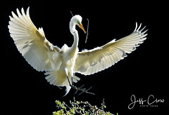 White on Black with Wings (Jeff Clow) Tags: 2017 jeffclowphototours texas beautyinnature birds nature wild wildlife greategret flying flight wings nesting behavior bravo