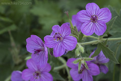 "Sticky Geranium • <a style=""font-size:0.8em;"" href=""http://www.flickr.com/photos/63501323@N07/32895090383/"" target=""_blank"">View on Flickr</a>"