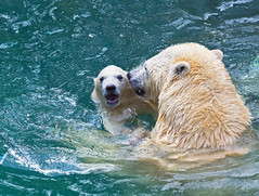 Bathing polar bears (♥Oxygen♥) Tags: animal bear mother polar cub pool zoo wild bathing mammal north motherhood peace basin love family childhood kid wildlife white happiness tenderness arctic water nature mom hug cute mum baby suckler protection mummy bath face wildbeauty sweet eco unity ecology portrait young familyportrait care safety parenting lovely embrace outdoor swim