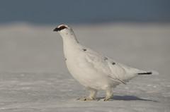 Ptarmigan (J J McHale) Tags: lagopusmuta rockptarmigan ptarmigan scotland highlands cairngorms snow winter nature wildlife