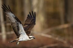 Osprey (rob.wallace) Tags: in flight raptor huntley meadows park alexandria va