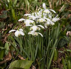 Double Snowdrop (phillipbonsai) Tags: benington snowdrops aconite hertfordshire double galanthushypolita