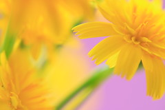 Daisy chain (alideniese) Tags: daisy dandelion nature flower yellow green purple colour colourful bright macro closeup focus shallowdepthoffield