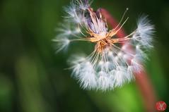 Common things can be beautiful (Kasia Sokulska (KasiaBasic)) Tags: canada alberta edmonton spring macro flowers dandelion