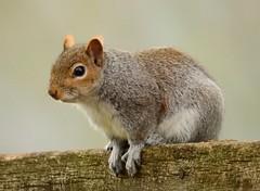 Squirrel (PhotoLoonie) Tags: squirrel greysquirrel animal wildanimal wildlife nature