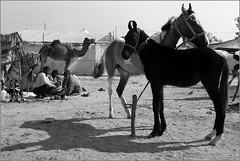pair, nagaur (nevil zaveri ( thank you for 10 million+ views : )) Tags: zaveri india nagaur rajasthan cattle fair camel horse domestic mammals animals photography photographer images photos blog stockimages photograph photographs nevil nevilzaveri stock photo blackandwhite bw monochrome people