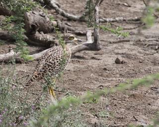 IMG_5007a - Spotted Thick-knee (Burhinus capensis), Ndutu Preserve, Tanzania - GPS #386