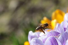 ....im Pollenrausch (Vasquezz) Tags: biene bee insekt insect frühling spring pollen krokus crocus licht light twitter coth sunrays5 coth5 thegalaxy