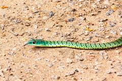 Boomslang (Ralph Apeldoorn) Tags: africa mosioatunya slang snake southernafrica victoriafalls zimbabwe matabelelandnorthprovince
