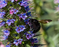 IMG_8206 (Sharpshooter_SF) Tags: carpenter bee bees insects nature