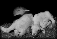 VILLAREJO-11 (ROGE gonzalez ALIAGA) Tags: black blancoynegro animales rebaño pareja ganaderia yeste