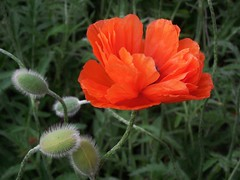 poppies 047 (cellocarrots) Tags: poppies