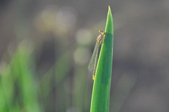 sunny sunner in the sun (christiaan_25) Tags: damselfly odonata zygoptera insect tiny little wings perched leaf iris yellowiris irispseudacorus light sunlight shadow green lakeside