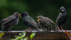 pecking order sucks! (markhortonphotography) Tags: bird canon insect babies feeding young starling surrey 7d fledgling sturnusvulgaris mealworms deepcut surreyheath 100400l eos7d
