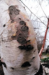 Birch Elbow (Georgie_grrl) Tags: friends toronto ontario tree photographers social bark pentaxk1000 birch outing rikenon12828mm torontophotowalks topwbdg