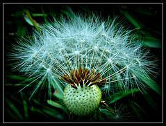 Dandelion Seed Head (1) (ronramstew) Tags: plant flower scotland angus head seed seedhead forfar strathmore dandelian mygearandme mygearandmepremium mygearandmebronze vigilantphotographersunite vpu2 vpu3 vpu4 vpu5
