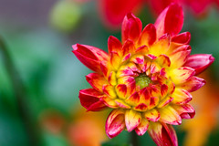 Dahlia (JasonWalton) Tags: dahlia plants house ontario canada flower macro nature canon garden flora place ottawa overcast rainy canon5dmarkiii
