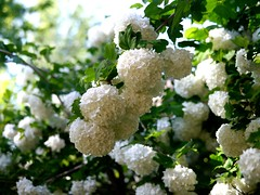 Snowballs in May (Vicki Devine) Tags: snowball viburnum