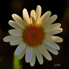 Oxeye Daisy.......Wild Flower.. Explored (l_dewitt) Tags: daisy wildflower chrysanthemum oxeyedaisy