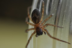 165/365 spider jar (werewegian) Tags: macro glass lens spider jar rim tamron day165 jun13 werewegian day165365 3652013 365the2013edition 14jun13