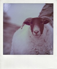 cool sheep ~ pola (bruxellius) Tags: portrait polaroid cool sheep isleofmull pola poladroid