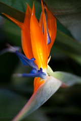 bird of paradise (rockmixer) Tags: california flowers blue orange green yellow 50mm losangeles petals stem dof blossom bokeh depthoffield birdofparadise stems bloom