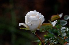A Rose (timbo on the hill) Tags: d7000 nikon raw dxo rose white dof flower thecull 500px