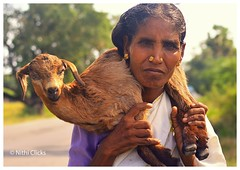 Indian Female Shepherd (Nithi clicks) Tags: old travel red portrait people india white man male tourism senior face animal proud rural asian person bed colorful asia village adult market head shepherd indian traditional ngc families flock culture tribal clothes whiskers goats local aged farmer turban tradition mustache tribe hindu herd rajasthan villager rajasthani rebari