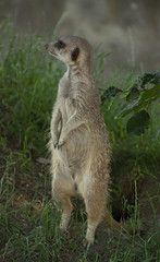 """Hey Lady! You got my best side?"" (Deborah S-C (InTheFairyGarden)) Tags: meerkat july blairdrummondsafaripark2013"