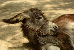 Baby donkey (Magic life gallery) Tags: carlosbustamanterestrepo carlosbustamante cartagena cartagenadeindias cartagenabolivarcolombia cartagenacolombia colombia burra burro donkey asno pollino jumento carlosbustamantecartagena