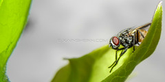 DSCN9562.jpg (Xain Sheikh) Tags: pakistan flower macro green closeup insect fly nikon asia wildlife coolpix islamabad d3000 s8100 xainsheikh xainsheikhphotography