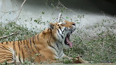 """Sleepy Tiger • <a style=""""font-size:0.8em;"""" href=""""http://www.flickr.com/photos/77994446@N03/9518325821/"""" target=""""_blank"""">View on Flickr</a>"""