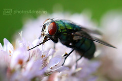 i fly (photos4dreams) Tags: plant green garden insect fly grn insekt peppermint fliege greenish bluish pfefferminze stubenfliege grnblau photos4dreams photos4dreamz p4d iflyp4d