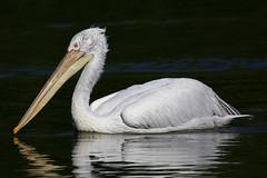 Plican gris (Maillekeule) Tags: gris parc oiseaux villars pelecanus plican rufescens dombes