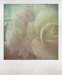 Roses by May (cjazzlee) Tags: instant fauxlaroid instantapp