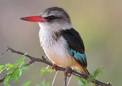Brown-hooded Kingfisher (Halcyon albiventris) (Ian N. White) Tags: explore gaborone botswana brownhoodedkingfisher halcyonalbiventris simplysuperb