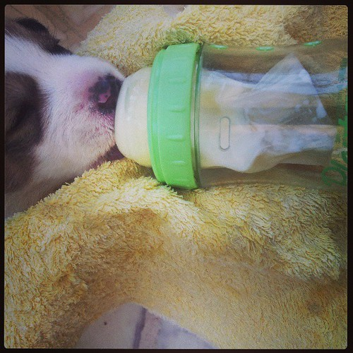 #puppy #love #playtex #bottle #milk #feeding #food #nice #lol #like4like #follow4follow #instadaily #instalike #instagram #instafollow #copy #dogs #life #small #baby #spotty #morning #beautiful #hug #uk #usa #look #follow #facebook #swifties #special #ama