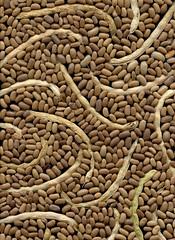 55644.01 Phaseolus vulgaris (horticultural art) Tags: bean seeds pods phaseolus phaseolusvulgaris horticulturalart
