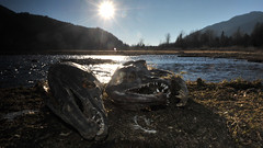 The Dead Gang (Fish as art) Tags: ecology frozen nikon fraserriver fraservalley salmonrivers nikonwideangle salmonids frasersalmon