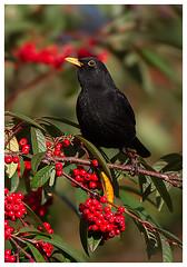 Blackbird (Pete Walkden) Tags: worcestershire blackbird
