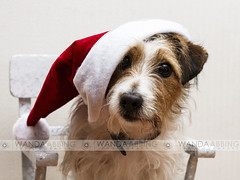 All I Want For Christmas (Wanda Abbing Photography) Tags: christmas portrait dog art hat canon photography wanda sigma 7d f18 jackrussel alienskin 1835mm strobist abbing exposure5 canon7d sigma1835f18