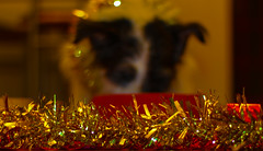 Special Spike Xmas Dinner (Al Kerr) Tags: christmas dinner canon jack russell dof terrier tinsel 2013 650d