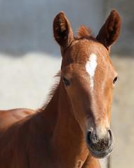 Mr. Bob Dobalina (RPQHP) Tags: horse pferd foal fohlen