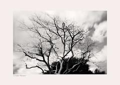 melancholy (salar hassani) Tags: winter tree clouds dry drought melancholy 2014 californias