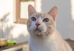 Stanley (No_Water) Tags: blue red orange brown white cute cat ginger eyes tiger stanley