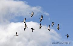 Grullas en flecha-Cranes flying (Grus grus) (Daniel Meraviglia-C.) Tags: canon photos aves cranes fotos birdsinflight common grus 70300 gallocanta comn gruiformes commoncrane grusgrus grullas ef70300isusm zancudas 60d canon60d migratorias avesdeespaa avesenvuelo craneflock grullasvolando cranesfliying