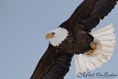 Banded Bandit (Bald Eagle) (Mitch Vanbeekum Photography) Tags: ny newyork flying inflight baldeagle haliaeetusleucocephalus banded haverstraw adullt canon5dmkiii canonef500mmf4is canon14teleconvertermkiii mitchvanbeekum