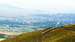 Sheep and City (mashapopovic) Tags: city urban mountains nature animals rural landscape view sheep serbia tradition srbija pogled zlatibor planine