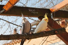 Perruches Calopsittes (Wikalia) Tags: bird face fly cage perruche vol bec blanche oiseau couleur plumes colombe mutation ino ailes tourterelle volire domestique perch perchoir calopsitte lgante