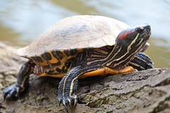 Red Ear Turtle (djshoo) Tags: